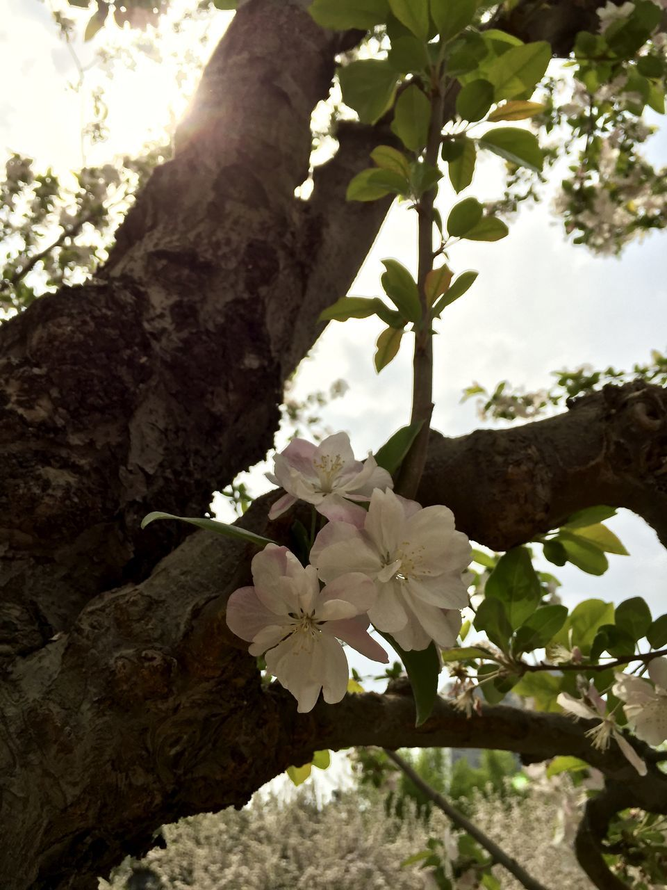 Low Angle View Of Flowers Blooming On Tree Branches