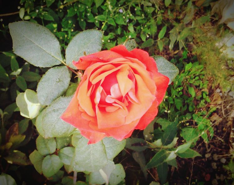 Justclick Rose🌹 Rose♥ Flower Mobile Photography Mobilephoto ;)