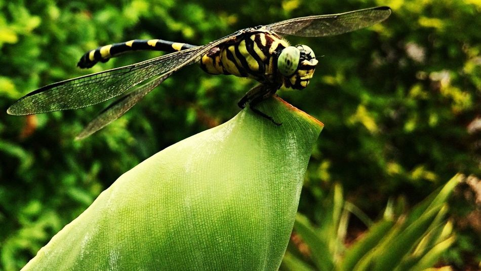 Dragonfly Insect Large Multifaceted Eyes Transparent Wings Coloured Patches