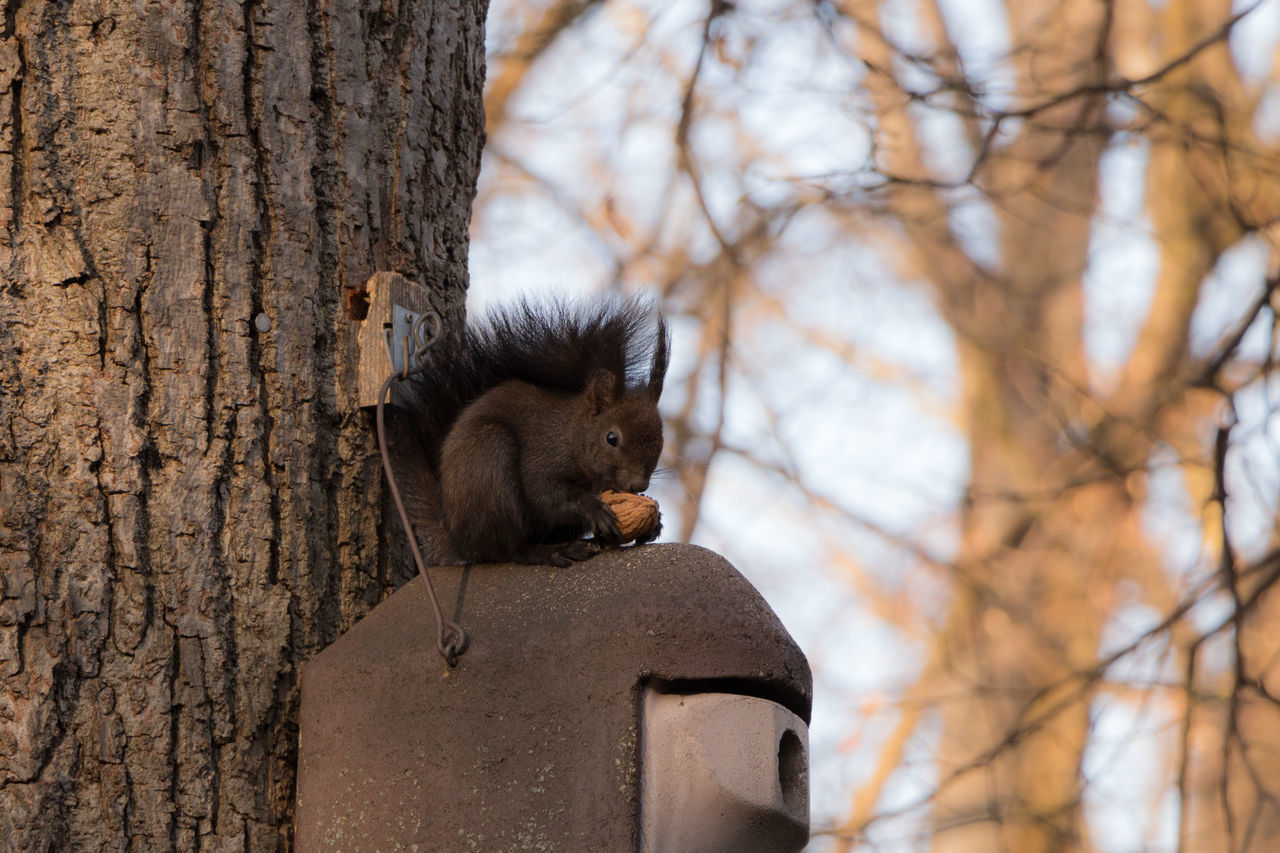 Squirrel having a breakfast Animal Themes Animal Wildlife Animals In The Wild Day Nature No People Nut One Animal Outdoors Squirrel Squirrel Closeup Tree Tree Trunk