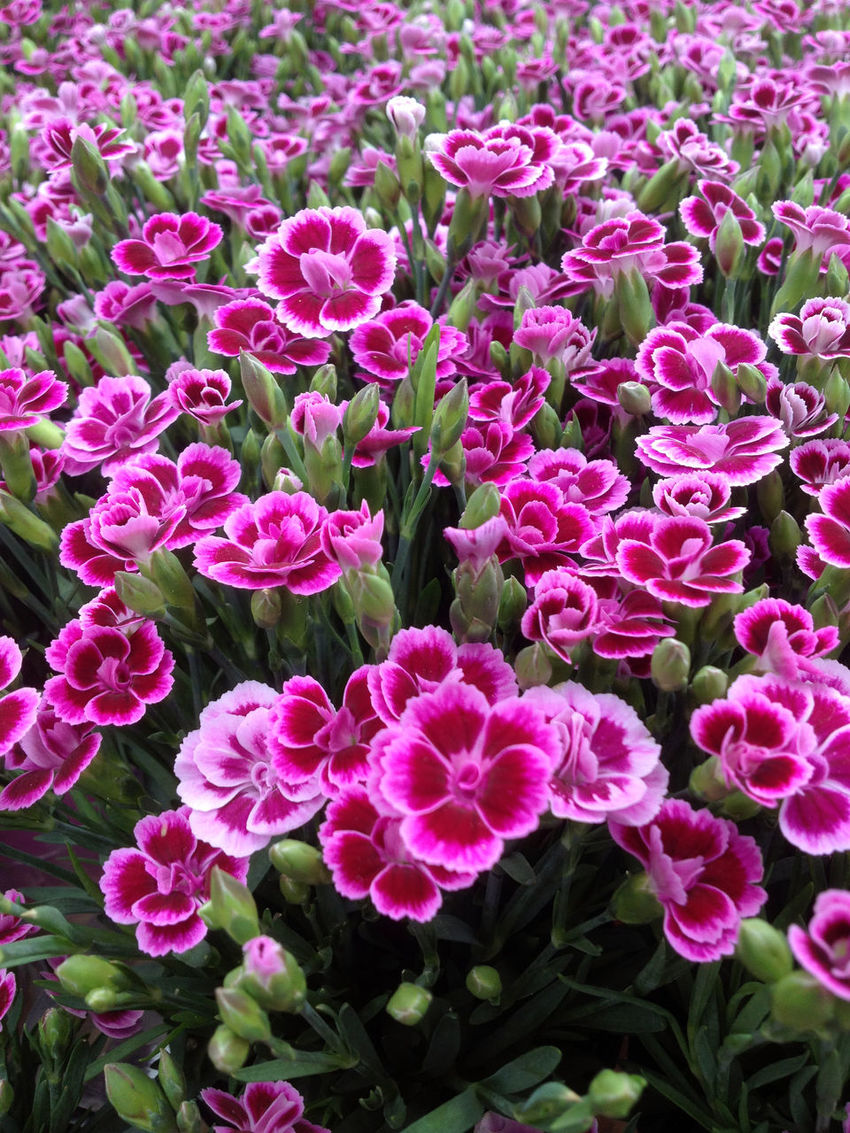 Blossom Botany Charmykate Close-up Dianthus Dianthus Charmy Flower Flower Head Fragility Freshness No People Petal Pink Plant Red