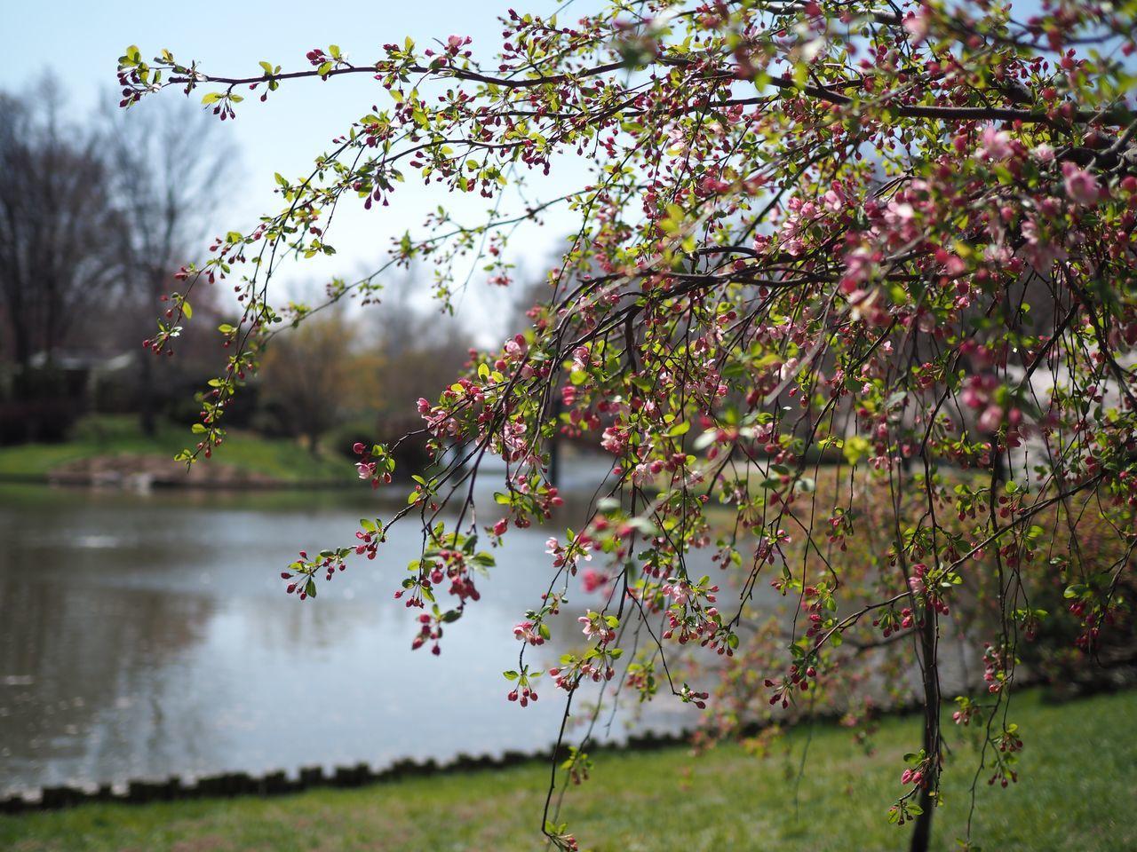 No Filter Nature Tree Spring Beauty In Nature Outdoors Springtime Missouri Botanical Garden Blossom MoBot Bud Pond Showcase April