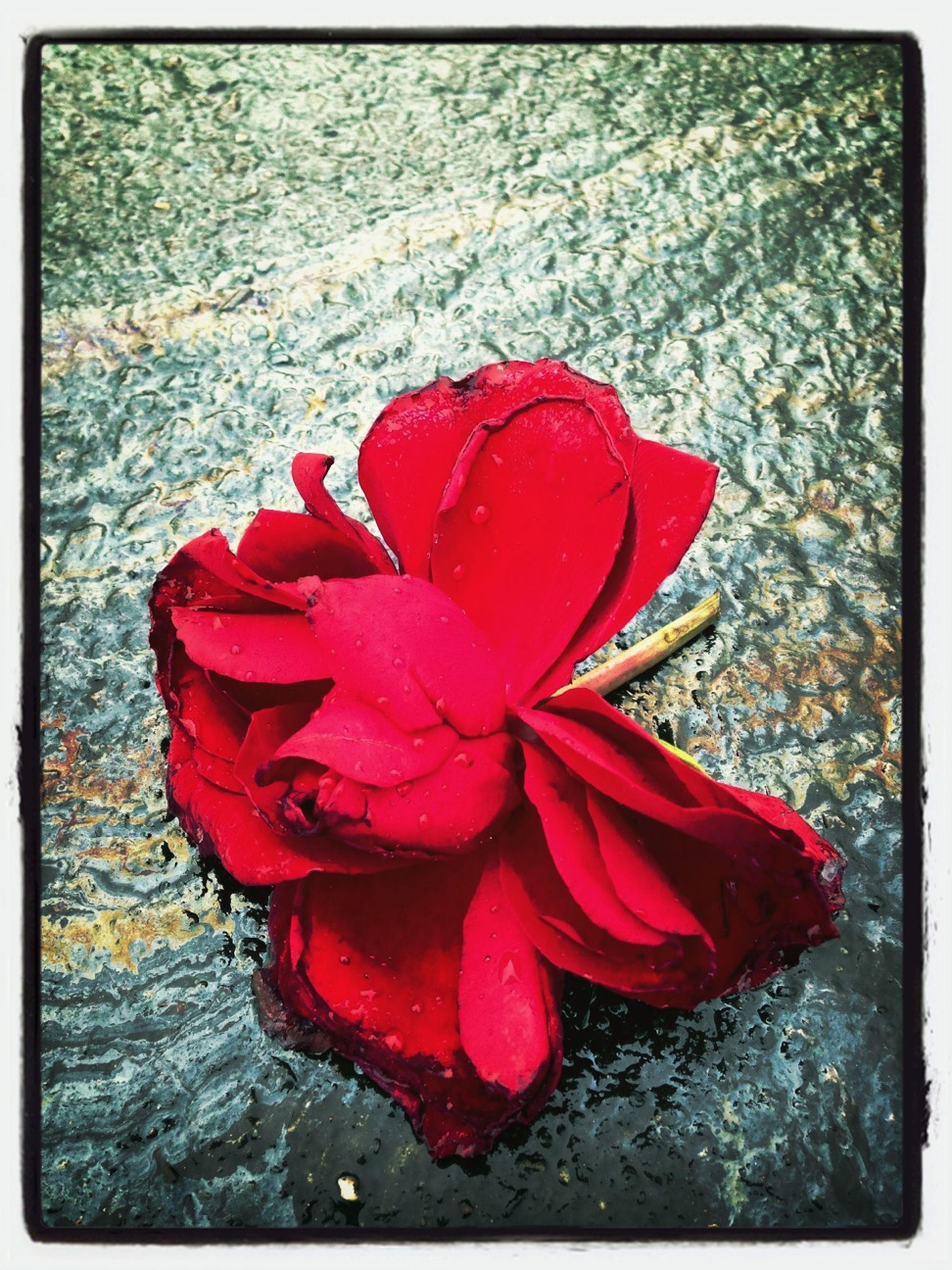 Rose On Oil