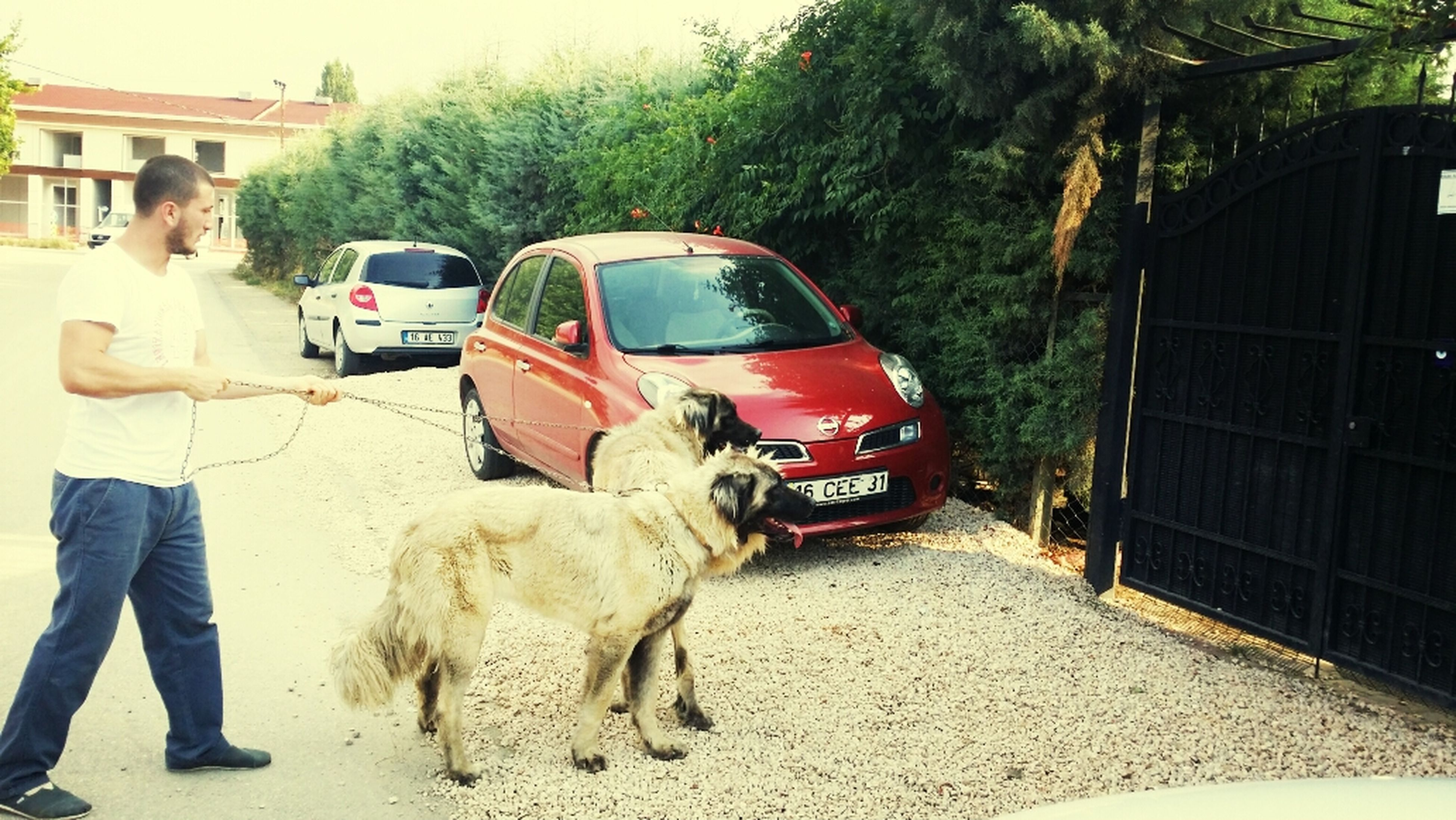 domestic animals, mammal, animal themes, transportation, one animal, dog, pets, mode of transport, land vehicle, building exterior, street, built structure, tree, architecture, men, full length, walking, car, rear view