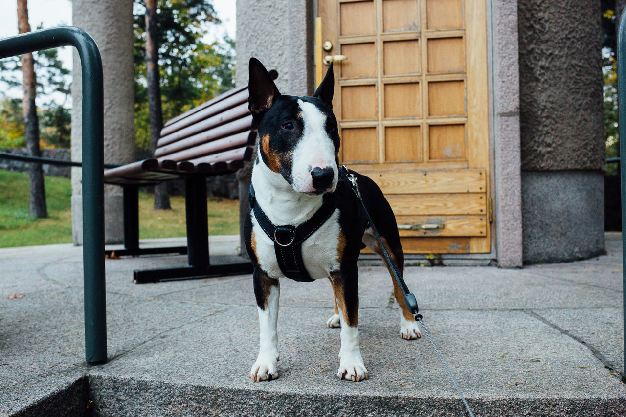 English Bull Terrier Domestic Animals Animal Themes Outdoors No People Finland Helsinki Bullterrier Englishbullterrier Ebt Dog Dogslife Dogs Of EyeEm Dogs Dogsofeyeem Canon Canonphotography Canon 5d Mark Lll Canon5Dmk3 35mm F2