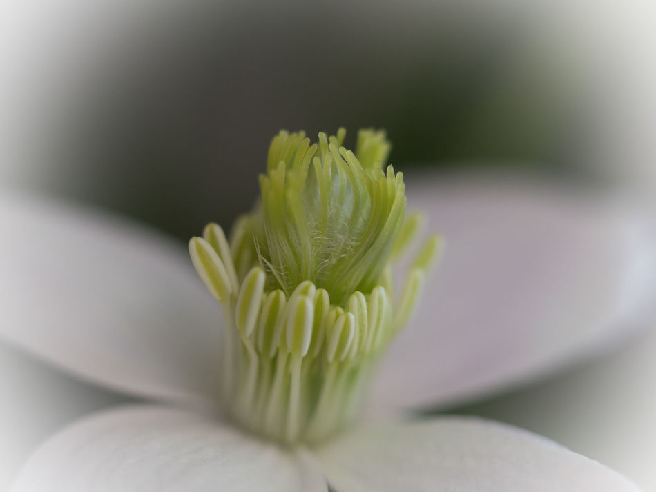 First Clematis Blossom at the Loggia Beauty In Nature Clematis Flower Close-up Day Flower Flower Head Fragility Freshness Green Color Growth Macro Macro Photography Nature No People Outdoors Selective Focus Vignette White Flower