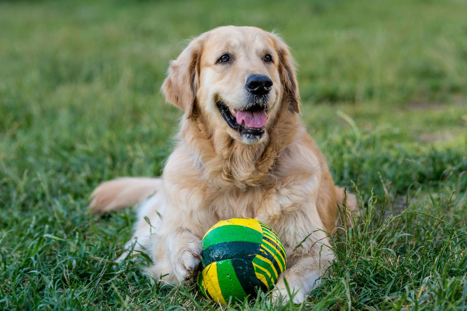 Beautiful stock photos of grass, Animal Themes, Ball, Day, Dog