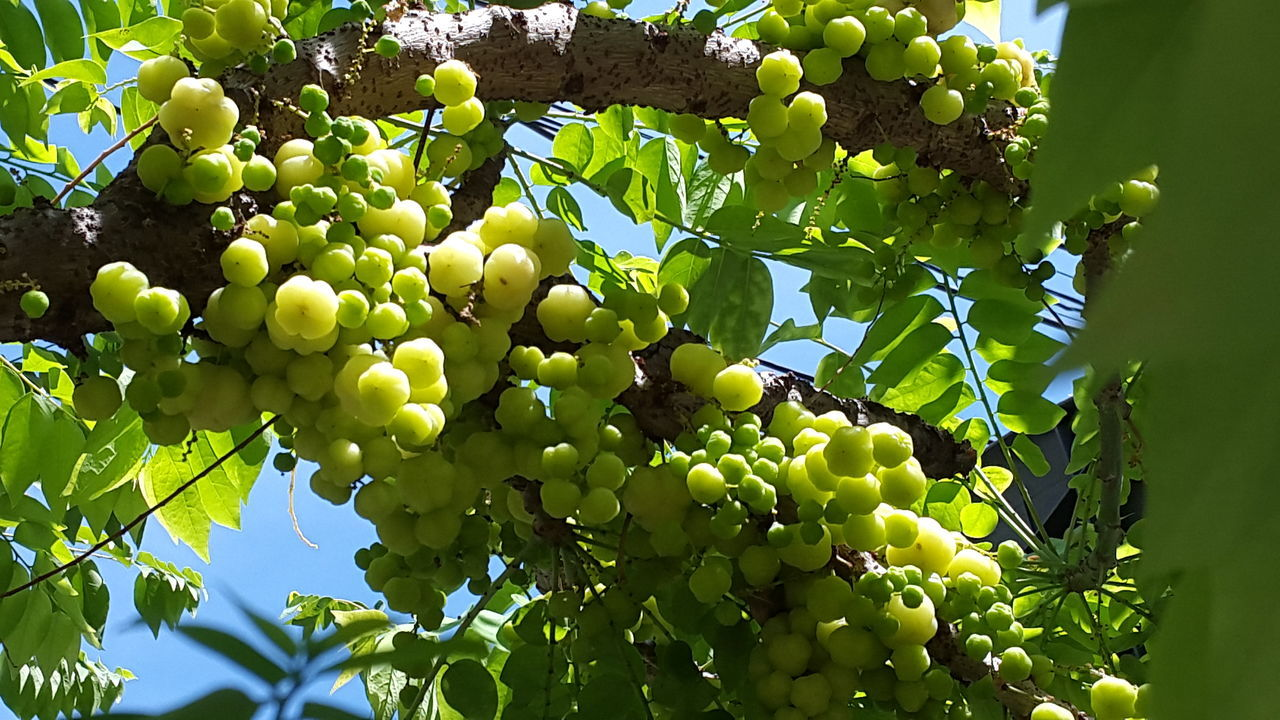 Fruit Growth Close-up Tree Green Color Nature Food And Drink Healthy Eating Food Low Angle View Leaf No People Grape Branch Outdoors Beauty In Nature Grapefruit Freshness Day