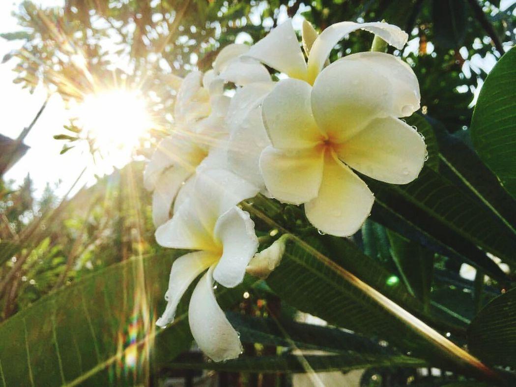 Leelawadee Nature Thai Flowers