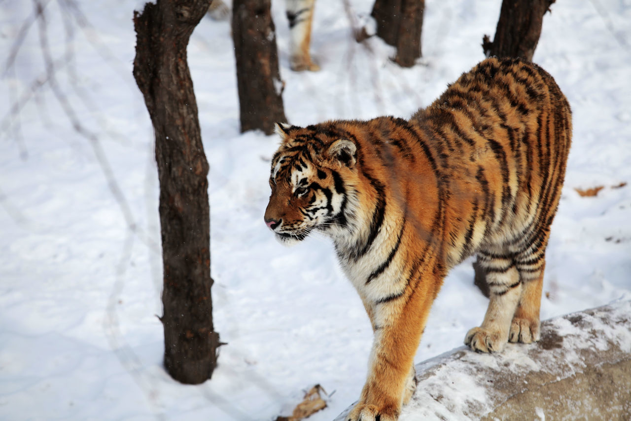 High Angle View Of Tiger Walking On Snowy Field During Winter