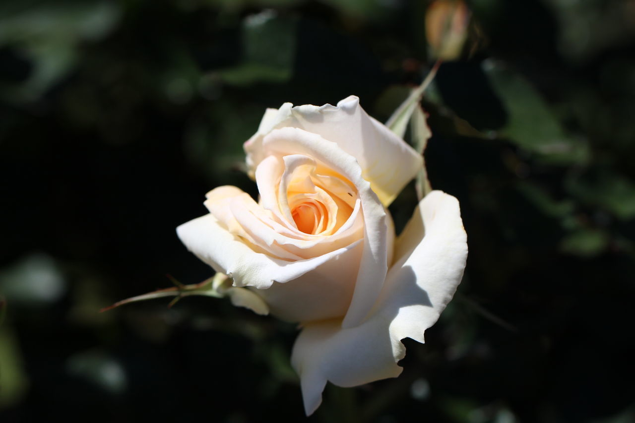 Close-Up Of Rose Blooming At Park