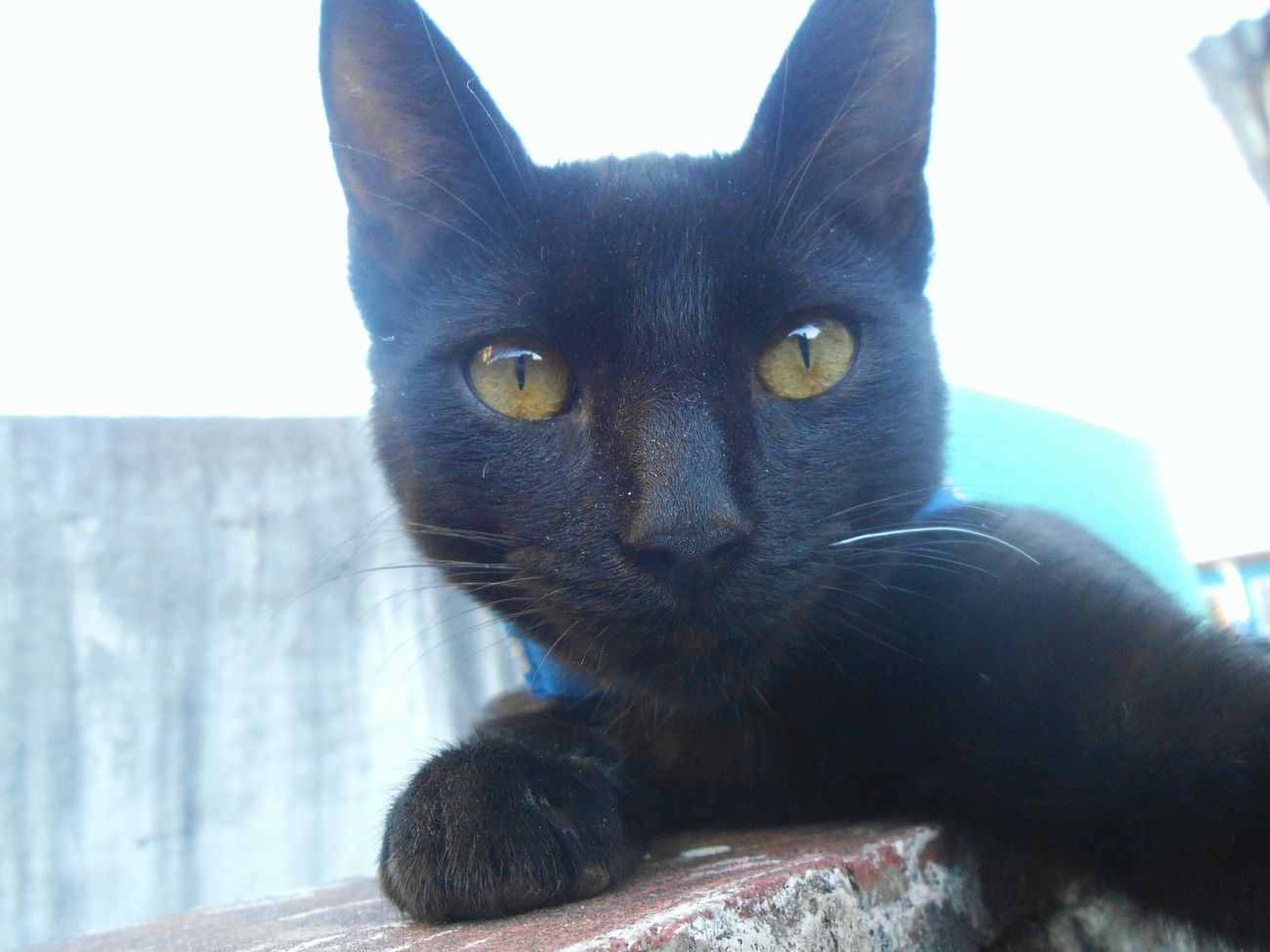 Cat selfie. One Animal Looking At Camera Feline Close-up Portrait Cat Catslife Cat Playing Nikonphotography Cats Cat Photography Blackcats Catphotography Catphoto Cats Of EyeEm Capture The Moment Cat Lovers Nikon Photography Black Cat BLackCat Nikon Sunlight Domestic Animals Day Pets