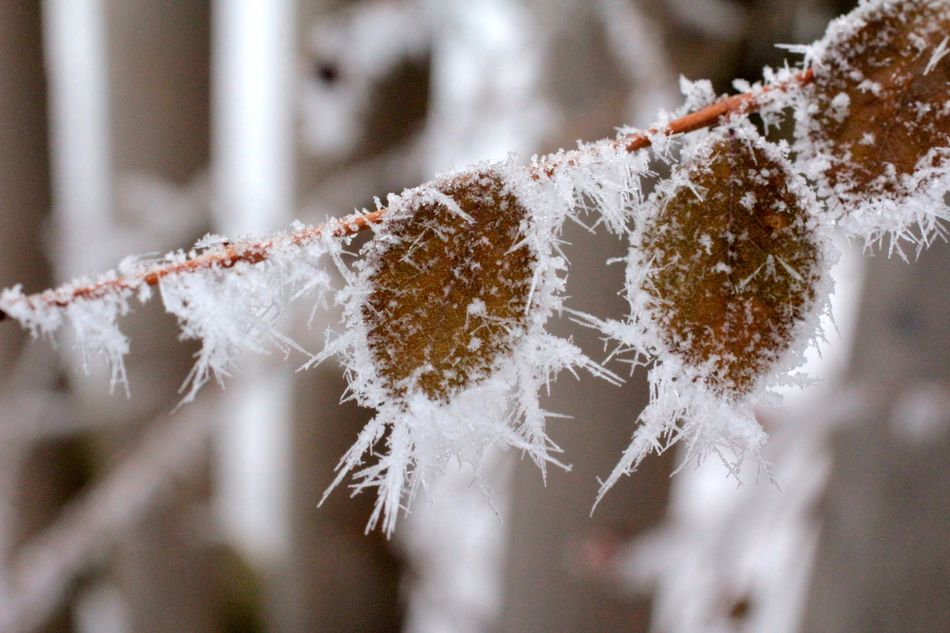 Beautiful stock photos of snowflake, Close-Up, Cold Temperature, Day, Focus On Foreground