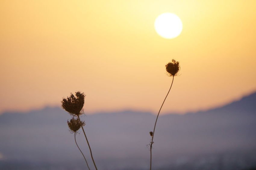Cyprus Girne Grass Kyrenia Mountains Beauty In Nature Close-up Dawn Day Field Flower Flower Head Focus On Foreground Fragility Freshness Growth Nature No People North Cyprus Outdoors Plant Sky Sun Sunrise Tranquil Scene Tranquility