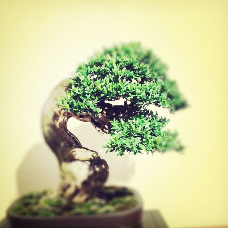 Bonsai TreePorn