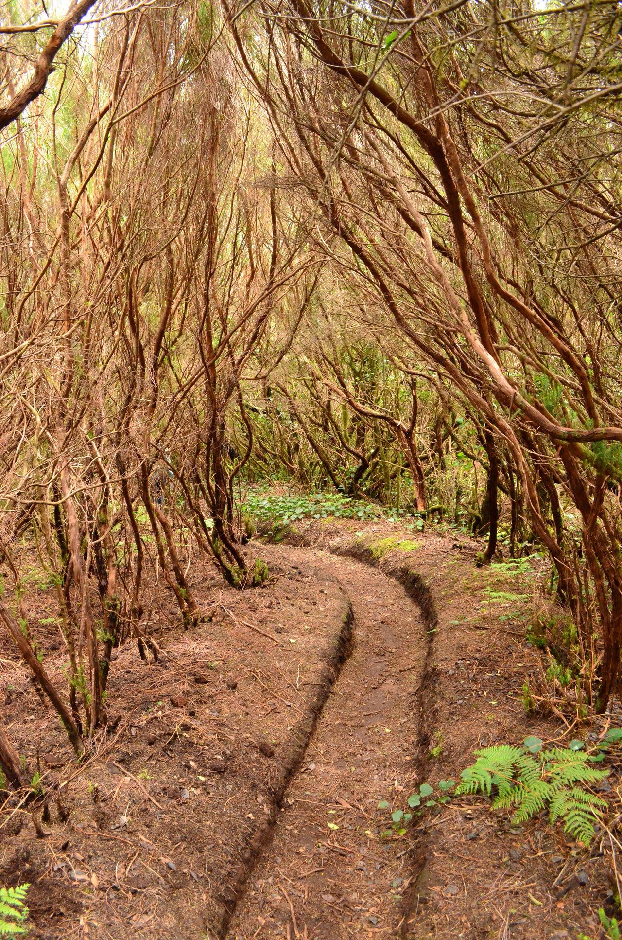 Anaga forest Anaga Mountains Anaga Tenerife Forest Hiking Trail Nature Outdoors Tenerife Island Teneriffa Tree Trees
