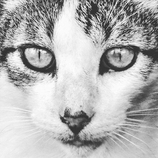 Eyes Cat Kitty Stray Straycat Blackandwhite Fiunaturepreserve Catsofinstagram