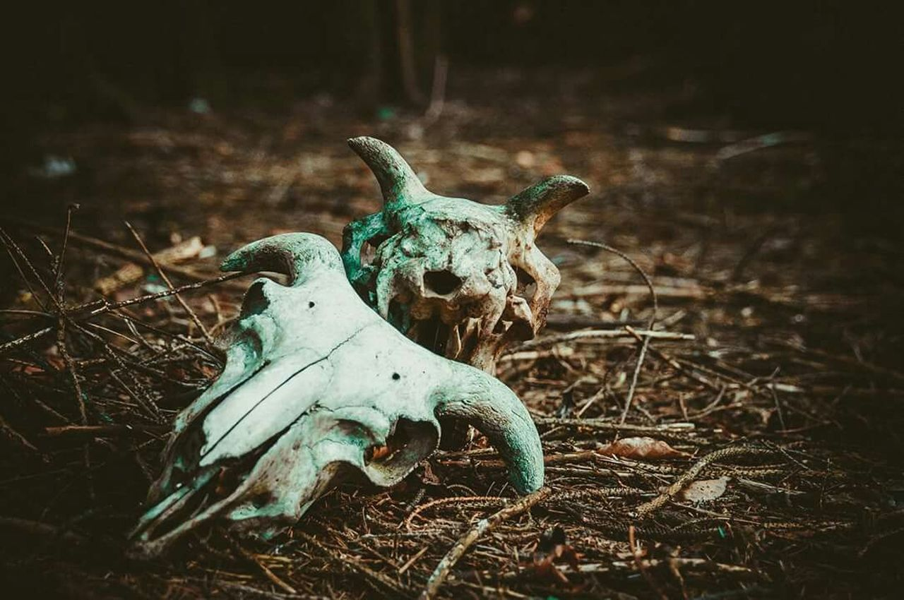 animal skull, animal bone, horned, no people, field, skeleton, day, outdoors, animal themes, nature, close-up