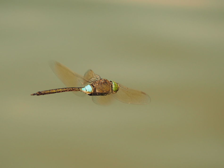 Beauty In Nature Close-up Dead Danube Dragonfly Flies Flying Dragonfly Focus On Foreground Insect Insect Photography Insects  Nature Outdoors Riverside Riverside Photography Selective Focus