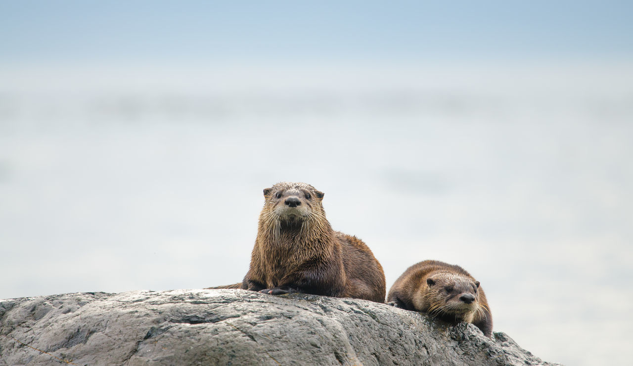 Animal Themes Animal Wildlife Animals In The Wild British Columbia Canada Couple - Relationship Cute Day Facing Camera Funny FUNNY ANIMALS Mammal Nature Nature No People Otter Otters Otters! Outdoors River Otter Room For Text Sharp Unspoiled Water White Background