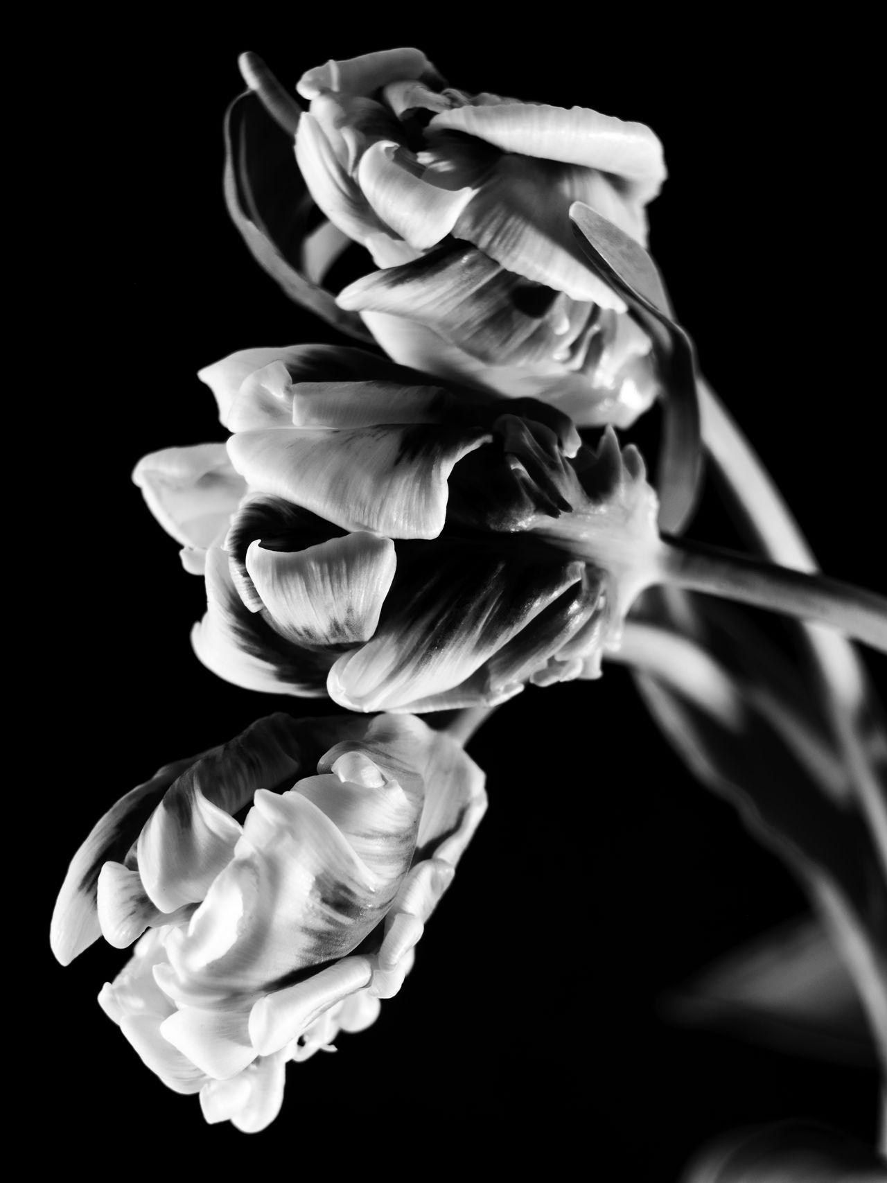 idmphotographer.com Beauty In Nature Black Background Blackandwhite Close-up Fine Art Photography Flower Flower Head Fragility Freshness Growth Indoors  Nature No People Petal Plant Studio Photography Studio Shot