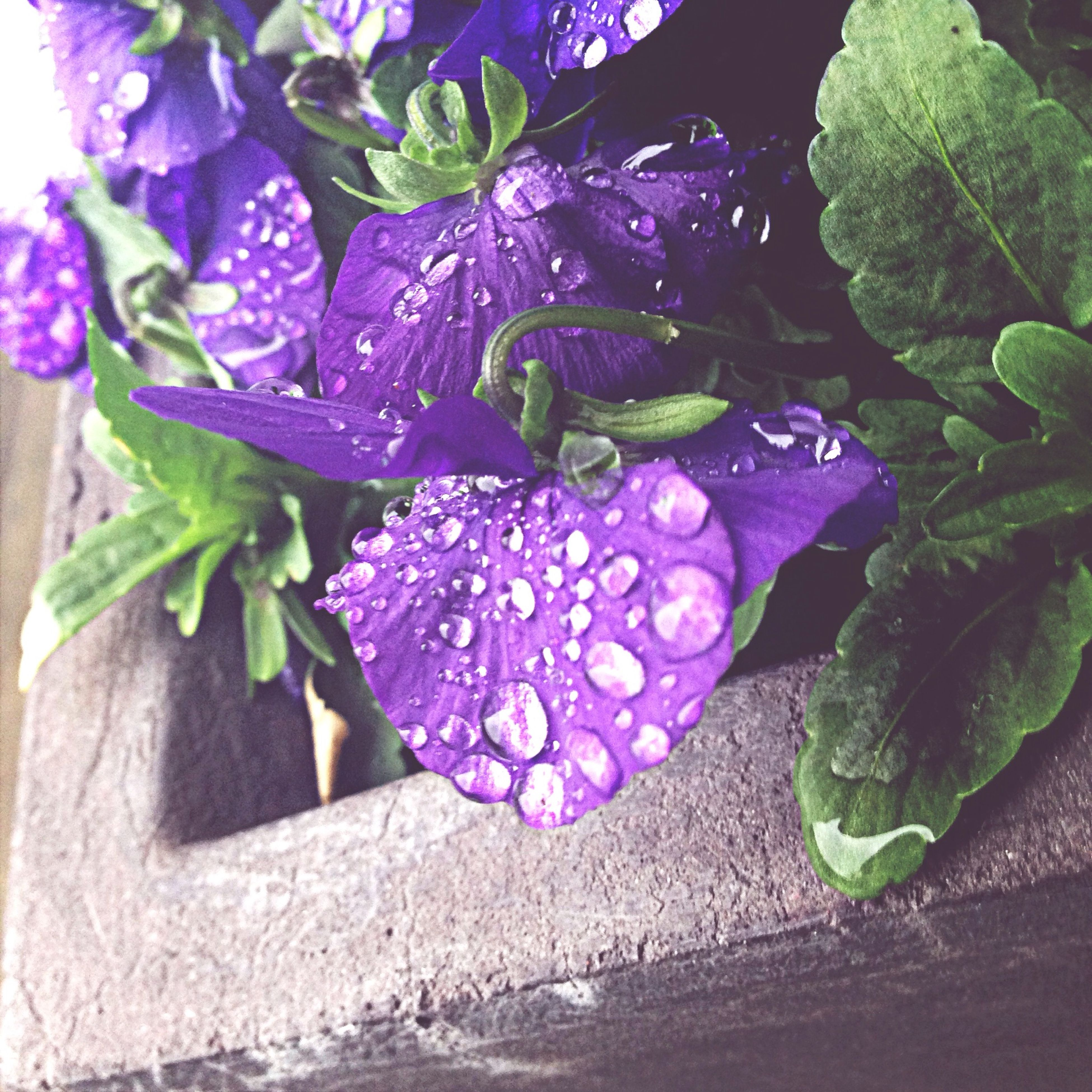 flower, freshness, growth, fragility, petal, purple, plant, leaf, beauty in nature, pink color, nature, close-up, flower head, blooming, in bloom, potted plant, focus on foreground, no people, outdoors, day