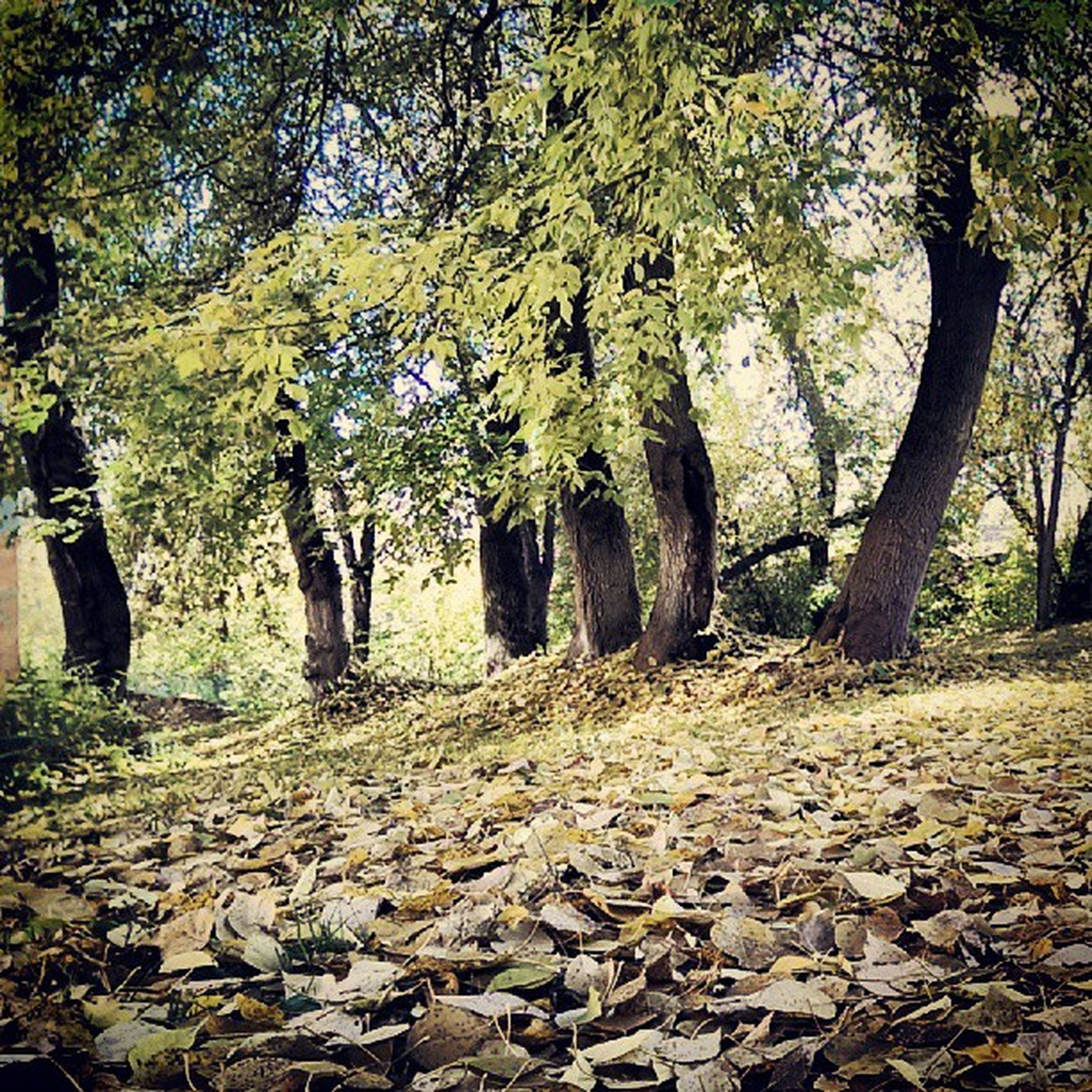 tree, tranquility, nature, tranquil scene, growth, forest, tree trunk, beauty in nature, leaf, scenics, autumn, the way forward, branch, sunlight, day, change, landscape, abundance, woodland, outdoors