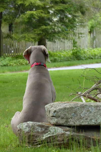 When are you coming home? My dog Phantom waiting for my wife to get back home. Casual Clothing Devotion Focus On Foreground Grass Grassy Green Green Color Lawn Lifestyles Lookingout Loyal Loyalty Outdoors Patience Patiently Waiting Relaxation Rock Weimaraner Weimaranerlove Weimaraners