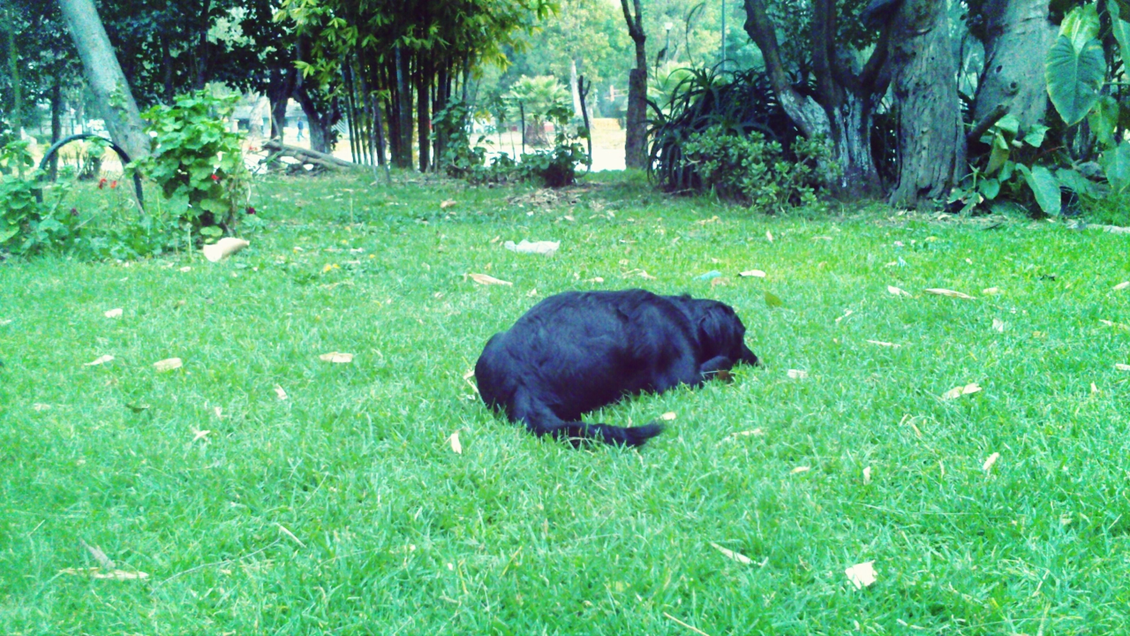 grass, animal themes, grassy, green color, field, one animal, lawn, domestic animals, tree, grassland, mammal, nature, growth, relaxation, park - man made space, wildlife, dog, day, no people, outdoors