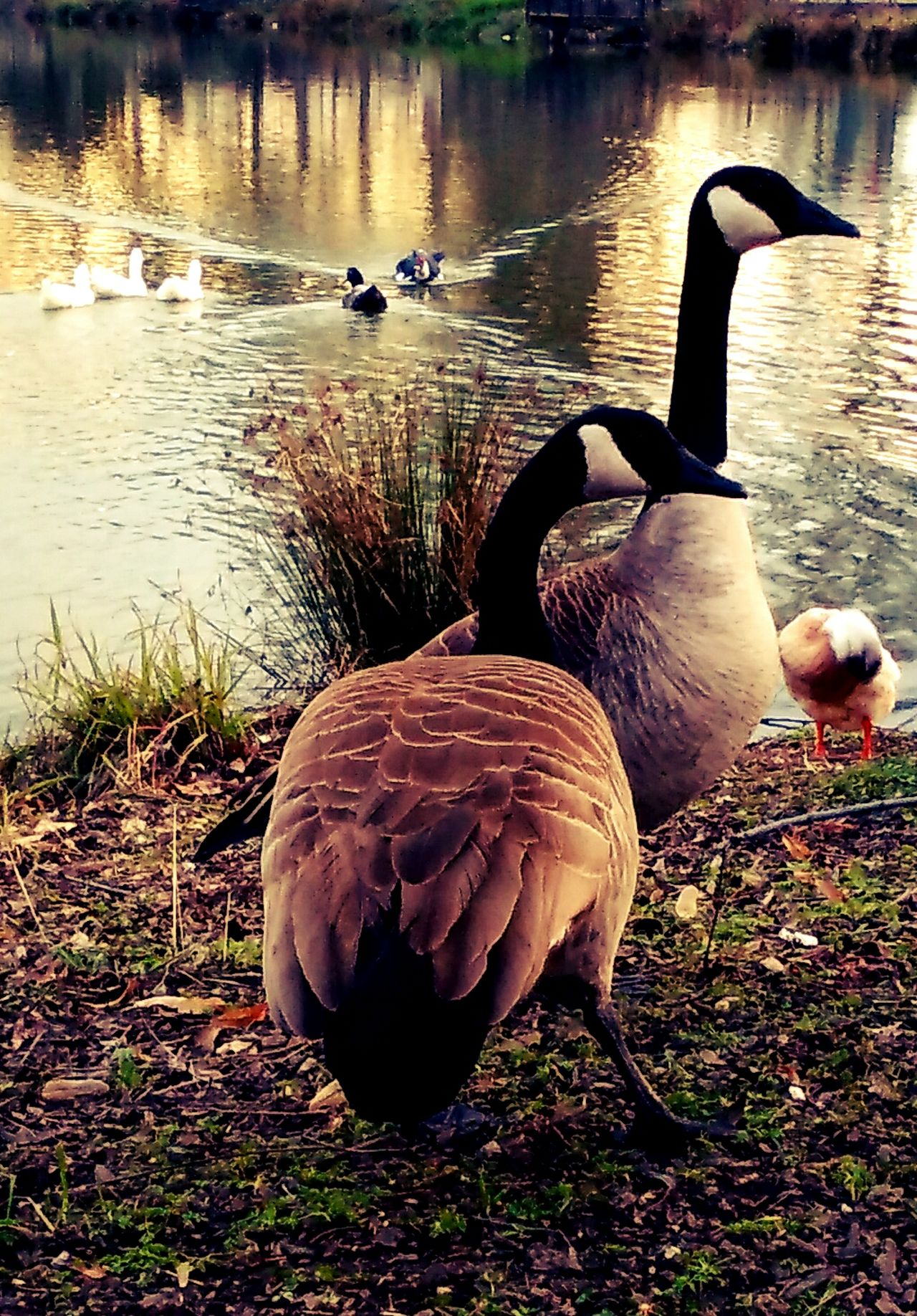 EyeEm Nature Lover Eye4photography  Ducks And Geese Loudthougts Northern California Winter Walk