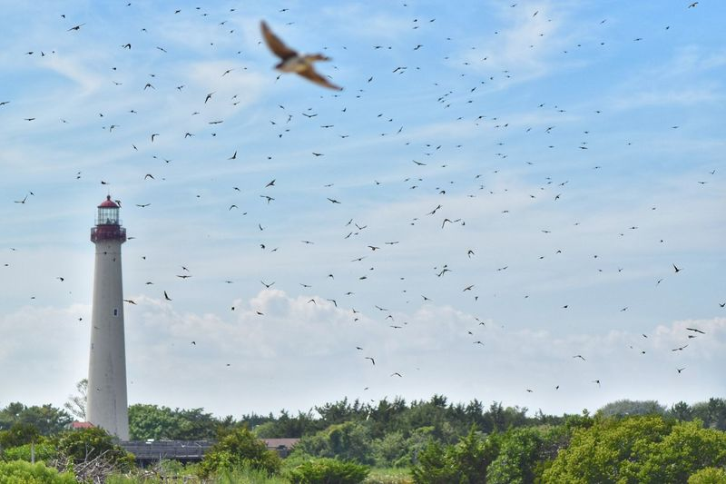 Hundreds of birds fly through the summer air surrounding the lighthouse of Cape May. Flock Of Birds Animals In The Wild Bestbirds Bird Watching No People Lighthouse Motion Photography Depth Of Field Bird Photography Nikonphotography D5500 Fitz's Photos Birds Of EyeEm  Summer Digital Photography Cape May, NJ Peace And Quiet Naturepark Biking Wildlife Photography Outdoors New Jersey Soaring Freedom