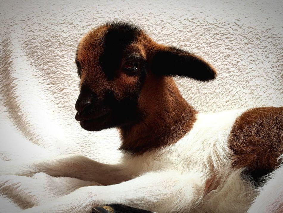 Lamp Domestic Animals Sheep And Lambs Animal Themes One Animal No People Mammal Indoors  Close-up Beauty In Nature Pets Indoors  Baby Sheep Sheep