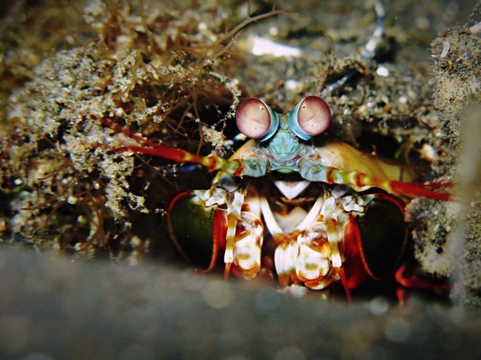 Mantis shrimp spotted while Scubadiving in Manado, Indonesia. Underwater Photography Tropical Animal Nature