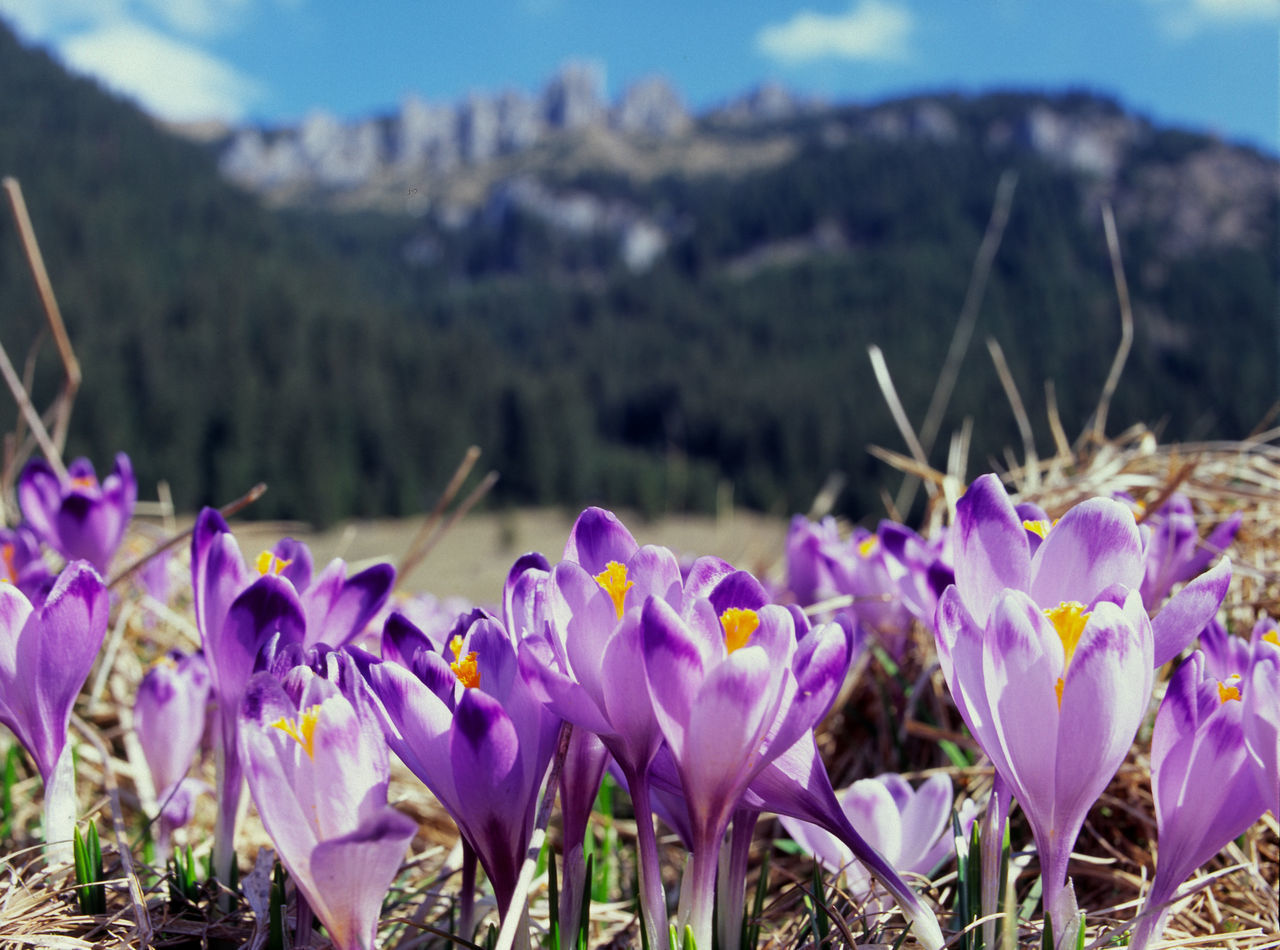 Beauty In Nature Chocholowska Chochołowska Crocus Crocuses Day Dolina Chocholowska Dolina Chochołowska Flower Fragility Freshness Growth Mountain Mountains Nature No People Outdoors Poland Polen Purple Spring Spring Flowers Springtime Tatry