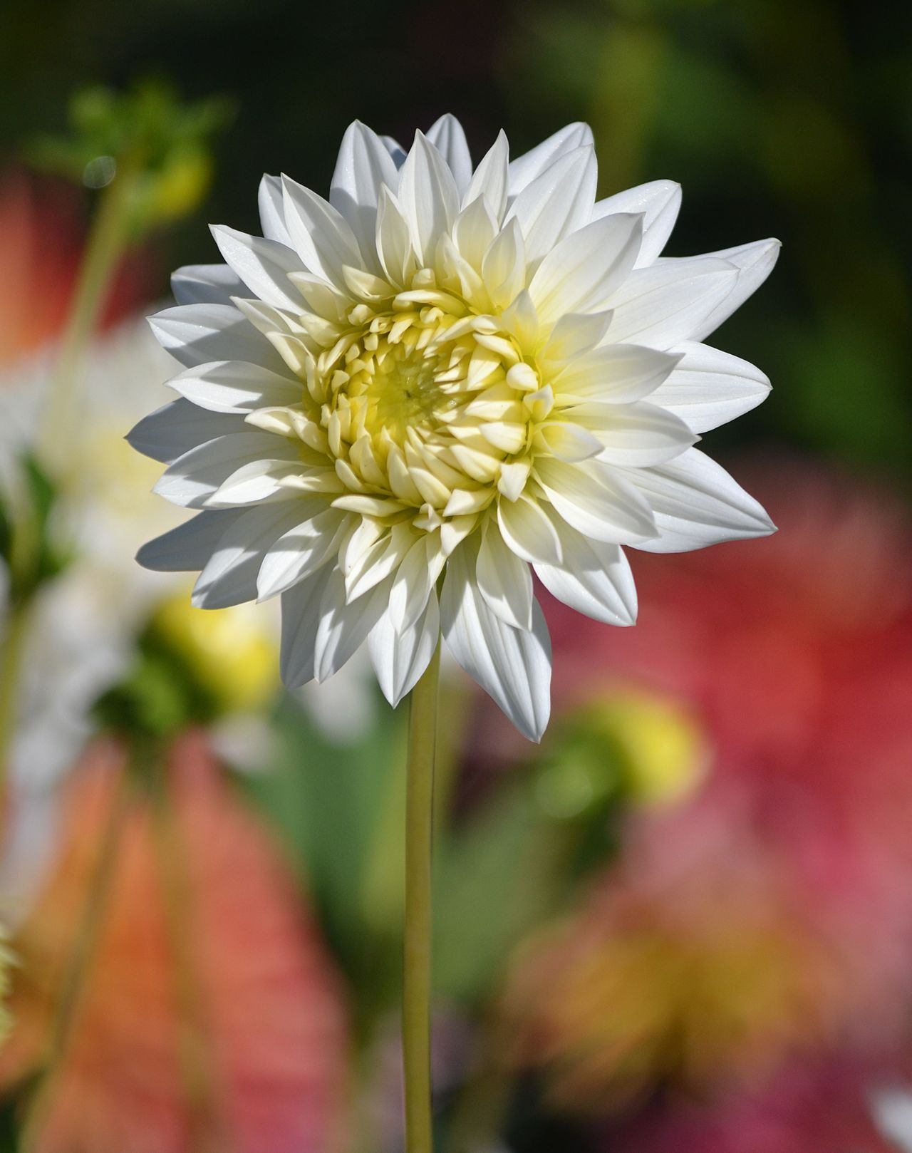 Simple, White Dahlia Beauty In Nature Blooming Close-up Dahlia Day Flower Flower Head Focus On Foreground Fragility Freshness Garden Garden Photography Gardening Growth Nature Nature No People Open Edit Outdoors Petal Plant White