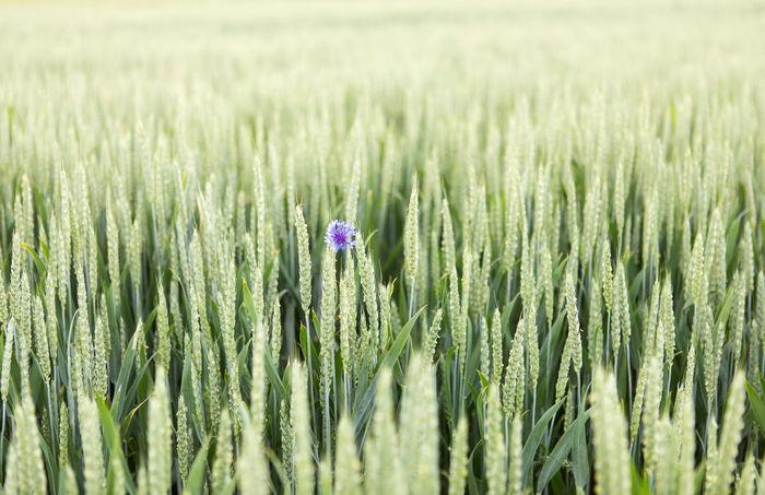 Bachelors Button Blue Cornflower Field Green Lone Plant Rye Field The Great Outdoors - 2017 EyeEm Awards