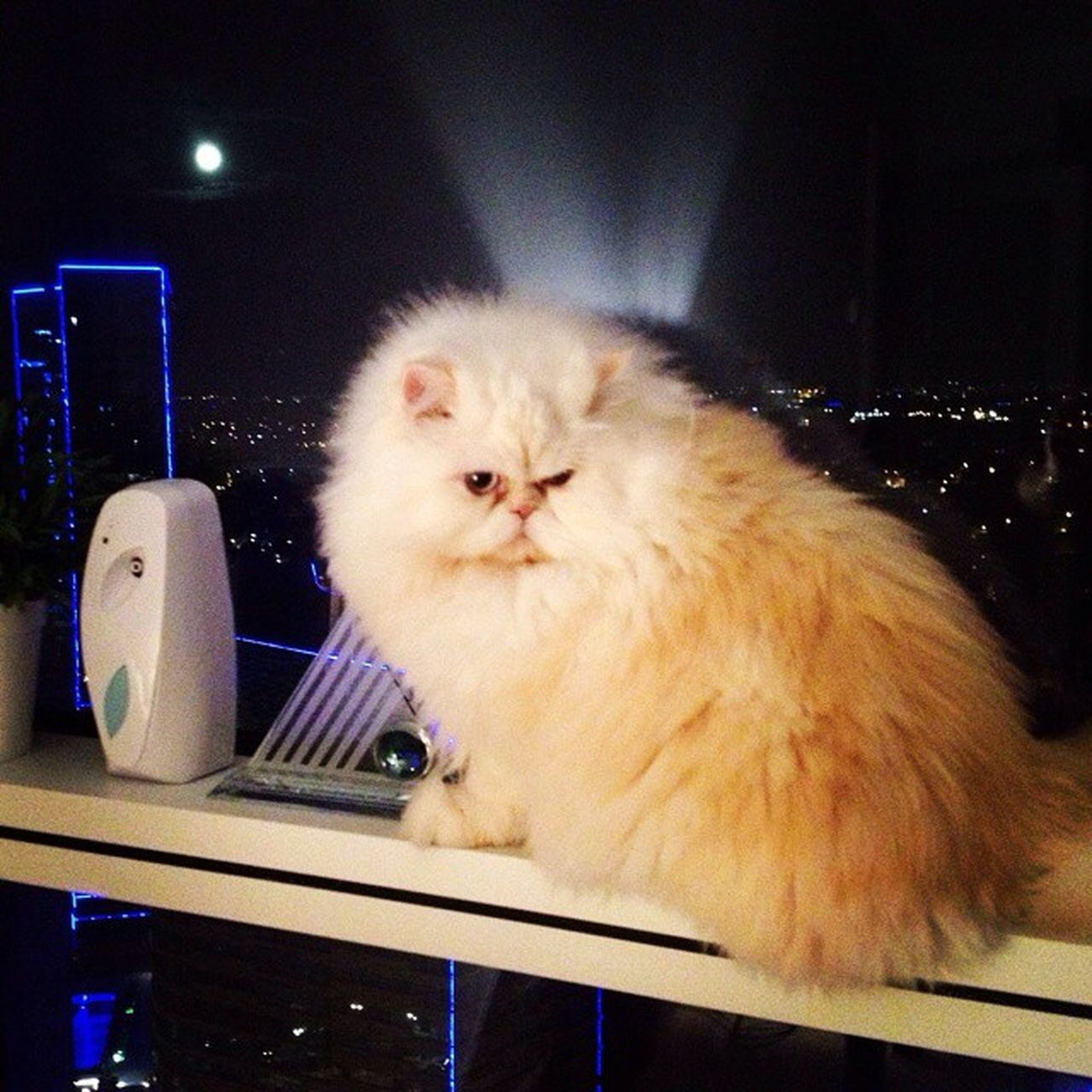 Mica Cat Model F4F l4l sweet persian cat