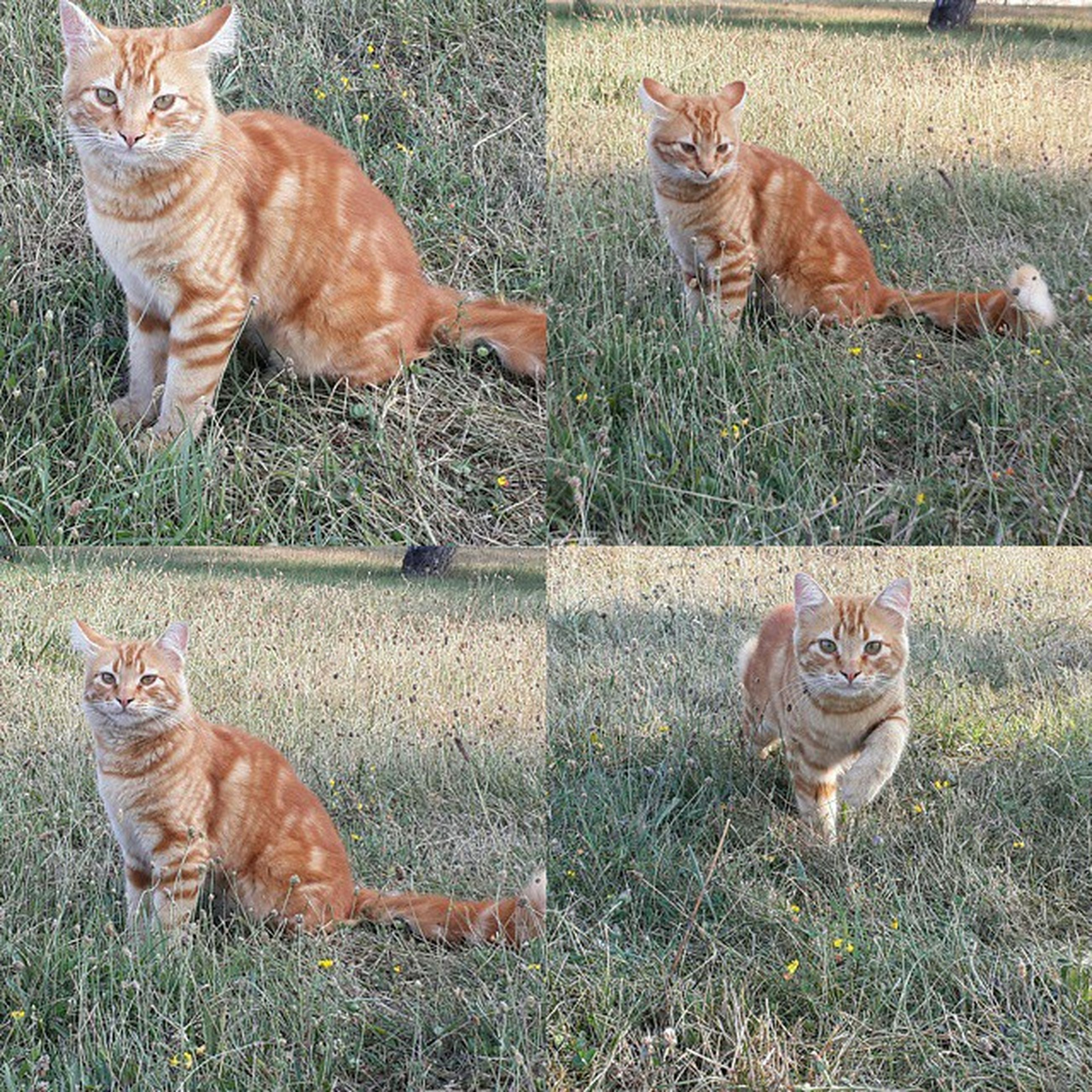 animal themes, mammal, domestic animals, grass, pets, two animals, field, feline, domestic cat, cat, grassy, one animal, portrait, looking at camera, green color, relaxation, nature, brown, no people, full length