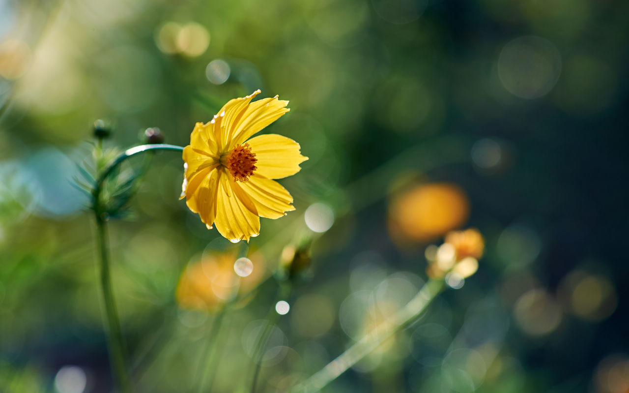 After The Rain Beauty In Nature Blooming Close-up Cosmos Flower Day Drops Flower Flower Head Focus On Foreground Fragility Freshness Growth Nature No People Outdoors Petal Plant Pollen Rainy Days Sunlight Sunny Wet Yellow