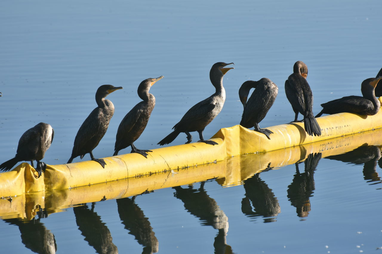 animals in the wild, animal themes, animal wildlife, bird, water, perching, reflection, outdoors, day, nature, lake, no people, beauty in nature, cormorant