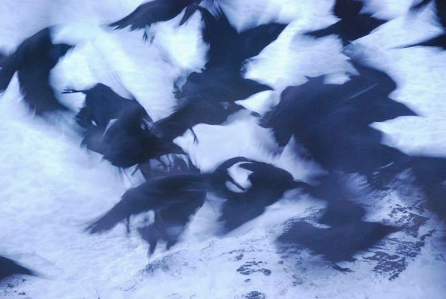 Birdwatching Flying Bird Fly Bird Fly The Real Greenland Hanging Out Birds EyeEm Birds Check This Out Flying Raven Ravens Rave Party Raves