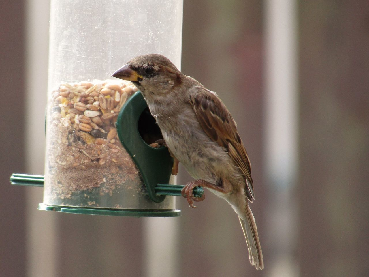 Beautiful stock photos of woodpecker,  Animal Head,  Beak,  Bird Feeder,  Bird Food