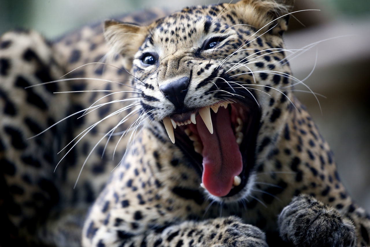 one animal, animal themes, animals in the wild, mammal, leopard, mouth open, focus on foreground, close-up, whisker, yawning, no people, animal wildlife, feline, day, nature, outdoors