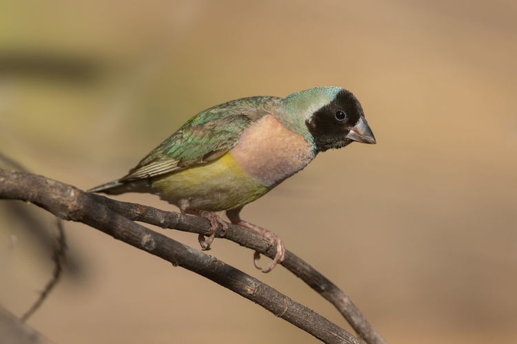 Gouldian finch black headed female Chloebia Gouldiae Gouldamadine Gouldian Finch Kimberley Australia Animal Themes Animal Wildlife Animals In The Wild Bird Black Headed Female Close-up Day Nature No People One Animal Outdoors Perching