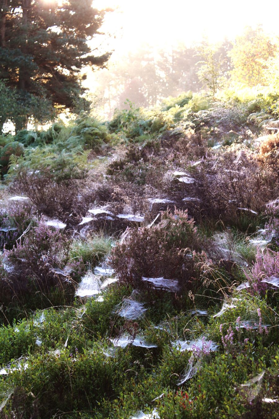 Cobwebs Cobwebs On Heather Beauty In Nature Tranquil Scene Tranquility Plant Remote