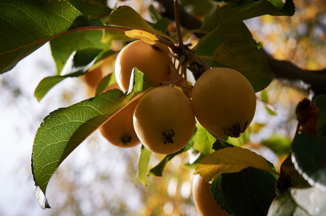 Agriculture Apple Tree Botany Branch Close-up Day Focus On Foreground Food Food And Drink Freshness Fruit Fruit Tree Green Color Growth Hanging Healthy Eating Leaf Nature Organic Outdoors Raw Ripe Rural Scene Selective Focus Tree