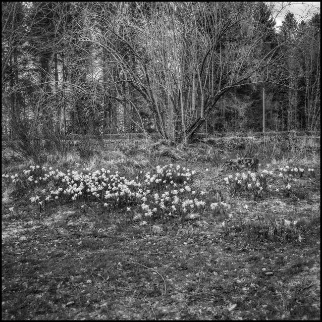 Managed Wildness Scotland Flaneur Nature Garden Photography Daffodils Historic