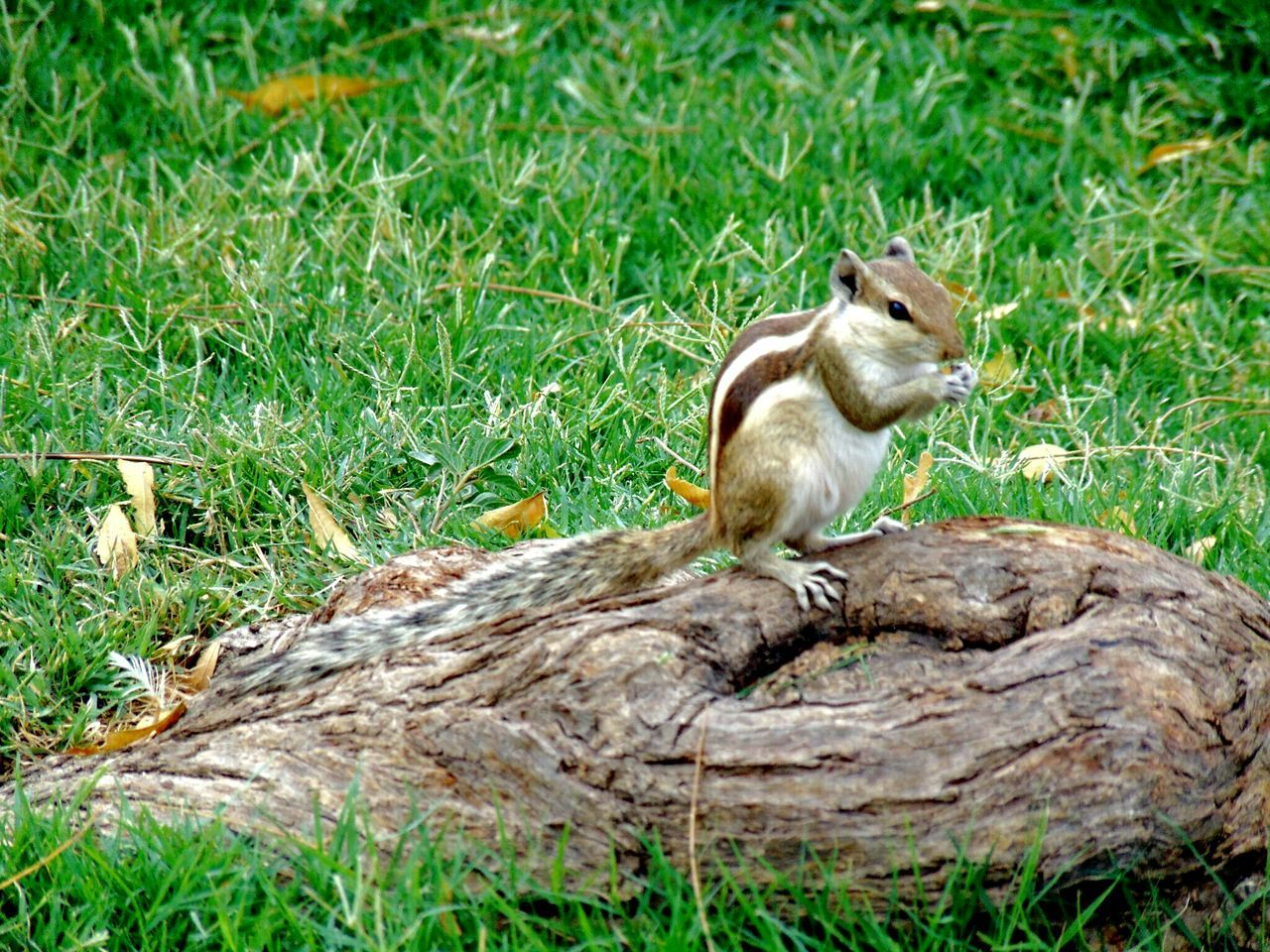 grass, one animal, animal wildlife, animals in the wild, animal themes, sitting, outdoors, squirrel, mammal, no people, nature, day, full length, eating