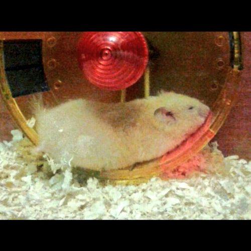Hamsteeeer ♥ Animals Ilovehamster First Eyeem Photo