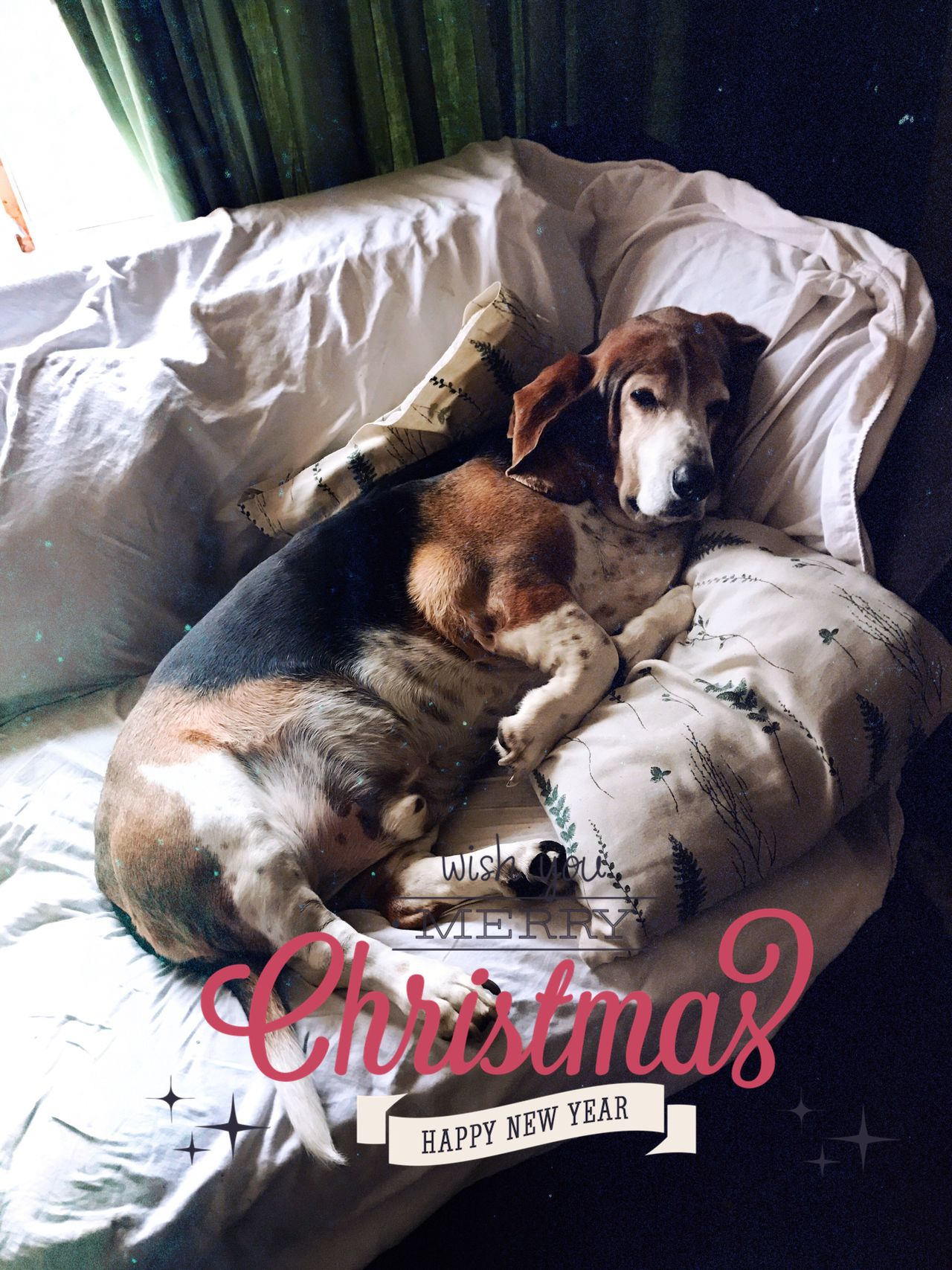 Waiting for Christmas Dog Domestic Animals One Animal Indoors  Seniorhoundsrock Iphonephotography Tistheseason Looking At Camera Portrait Pampered Pooch Upclose And Personal Ilovemybassethounds Bassetmoments Bassethoundadventures Bassethoundsare Best